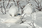 Three ptarmigan in winter plumage burrowed in around the willows.