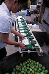 Labelling apple juice at June and Robin Small's company, Charlton Orchards, Taunton, Somerset. Their company was chewed up and spat out by the superstores, but they didn't give up. They found a way of surviving, by selling direct to local people. They've become evangelists for community orchards and local marketing.