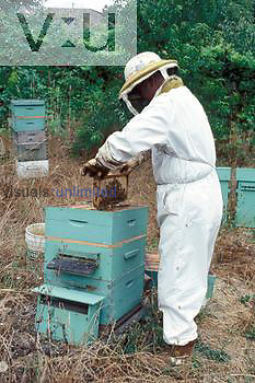 Beekeeper working at beehive, with honeycomb frames nearly full and ready for harvest.