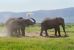 African elephants dust bathe, Amboseli National Park, Kenya