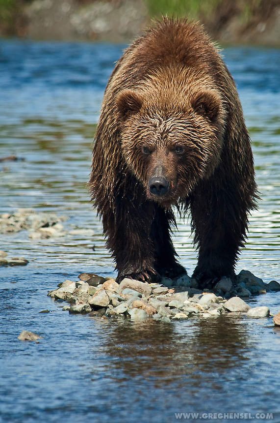 Brown bear looking for passing salmon greg hensel for Bear creek fishing