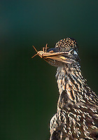 576010037 a wild greater roadrunner geocoyccx claifornianus holds grasshopper prey in its beak on a private ranch in the rio grande valley texas united states