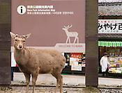 A sika deer in Nara Park.