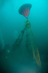 An abandoned ghost net is being removed from the bottom of the ocean by GUE (Global Underwater Explorers) divers. Coronado Island, San Diego, CA.