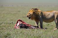 Male lion, Serengeti National Park, Tanzania, East Africa