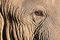 Botswana, Okavango Delta, Moremi Game Reserve, African elephant bull (Loxodonta africana), close up of head