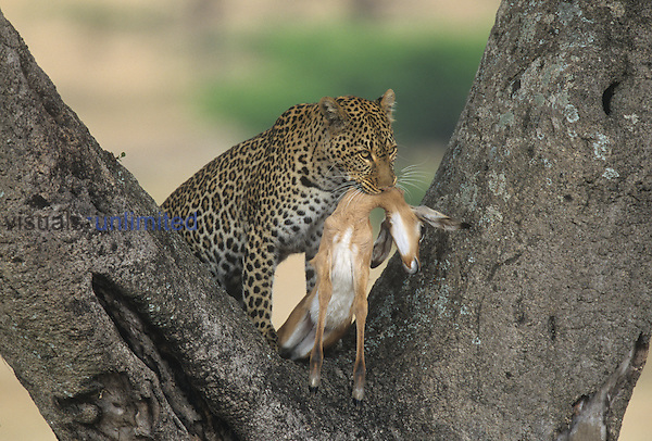 Female Leopard ,Panthera pardus, with a young Impala prey ,Aepyceros melampus, which it dragged into a tree, Masai Mara, Kenya.