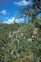 Dead tree in wooded savanna called cerrado in Chapada dos Veadeiros, Goias, Brazil.