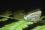 Early hairstreak butterfly Erora laeta