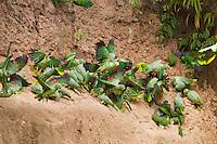 Mealy Amazon, Amazona farinosa, in flight near clay lick