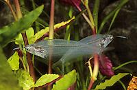 Indischer Glaswels, Kryptopterus vitreolus, Kryptopterus bicirrhis, Kryptopterus minor, Cryptopterichthys bicirrhis, glass catfish, ghost catfish, ghost fish, Le Silure de verre