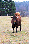 Two beef animals standing in pasture  in late fall