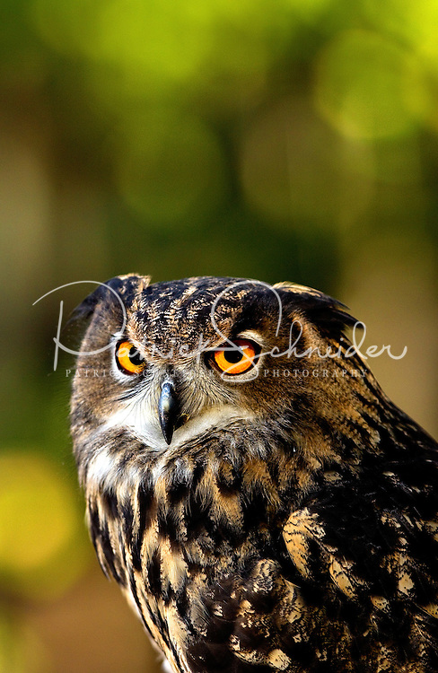 This Eurasian Eagle Owl (Bubo Bubo) is one of many injured and orphaned raptors living at the Carolina Raptor Center in Huntersville, NC (Mecklenburg County). Through its mission of environmental stewardship and conservation, the Carolina Raptor Center helps birds of prey through rehabilitation, research and public education. The center is located at 6000 Sample Road, Huntersville, NC.