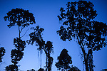South-west Amazon, Brazil. Rainforest trees in silhouette at nightfall. Brazil nut trees, the tallest in the forest against a blue sky.