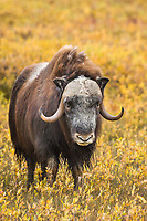 Muskox on the autumn tundra on Alaska's Arctic North Slope.