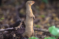 Small Indian Mongoose<br /> St. John<br /> U.S. Virgin Islands