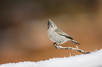 Juniper Titmouse (Baeolophus ridgwayi), adult male, Rocky Mountain National Park, Colorado, USA