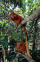 Each pair of Golden Lion Tamarins (Leontopithecus rosalia) will establish a family group where mother and father live together with their offspring of the previous two to three years.