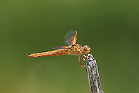 389310013 a wild female flame skimmer libellula saturata perches on a dead twig in fish slough mono county callifornia