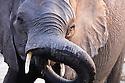 Elephant drinking at Chobe River, Chobe National Park, Botswana