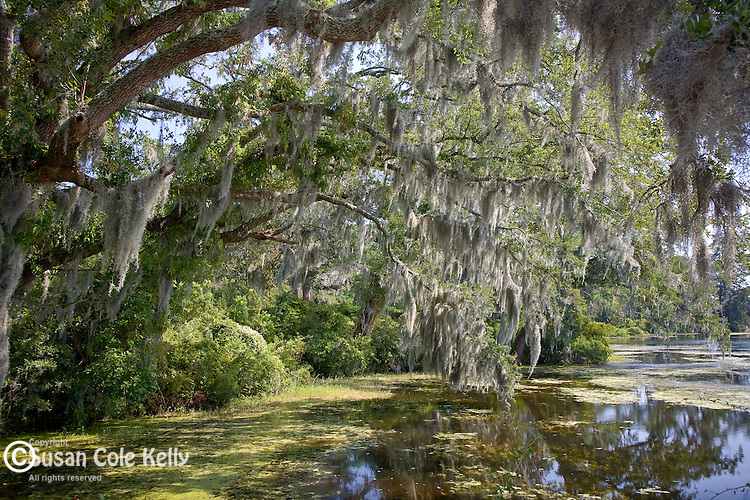Live Oaks At Airlie Gardens Susan Cole Kelly Photography