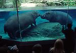 2 hippopotamus at San Diego Zoo