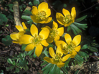 Eranthis hyemalis yellow spring flowering bulb