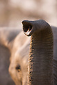 African elephant,Okavango Delta, Moremi Game Reserve, Botswana