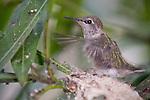La Jolla, California;  one , three week old Anna's Hummingbird (Calypte anna) chick, beats it's wings rapidly, while sitting in it's nest, it's sibling left the nest earlier in the day