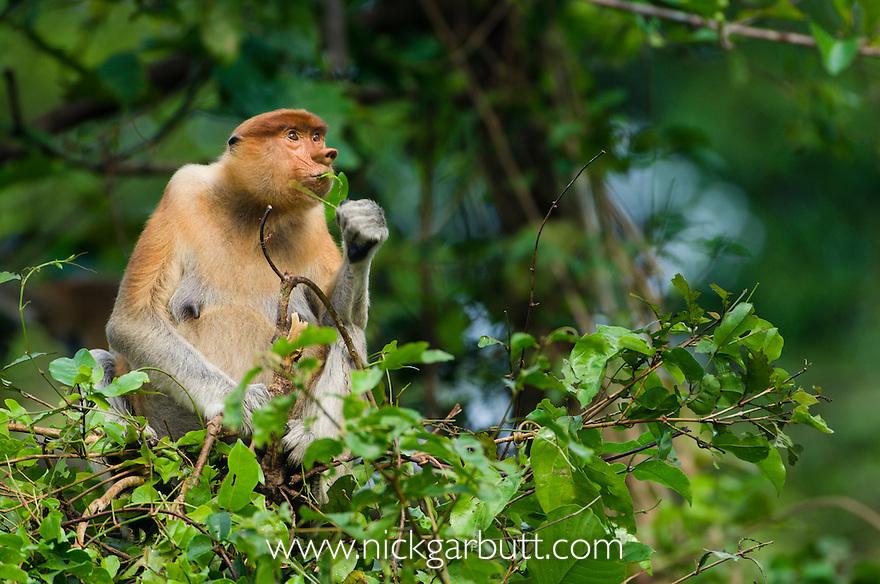 Female Proboscis Monkey (Nasalis larvatus) feeding in riverine forest, Kinabatangan River, Sukau, Sabah, Borneo.