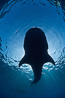 RX2019-D. Whale Shark (Rhincodon typus), view from underneath the largest fish in the sea, grows to 50 feet long, found around the world in tropical seas, feeds primarily on tiny plankton. Gulf of Mexico, Mexico, Caribbean Sea.<br /> Photo Copyright &copy; Brandon Cole. All rights reserved worldwide.  www.brandoncole.com