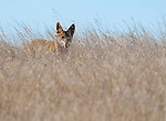 Coyote, Canis latrans, on a grassy hillside in Mount Diablo State Park, California