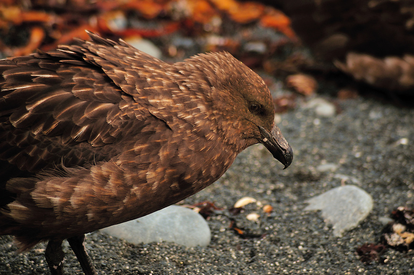 The Skua - scavenger of the Antarctic