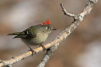 "Ruby-crowned Kinglet in Winter with patches of snow in the background. There's another male just of frame causing the kinglet to raise its ""fiery"" crown."
