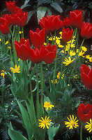 Red tulips with yellow Doronicum flowers