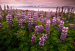 Wild lupines in Iceland.