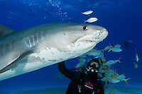 RW4163-D. Tiger Shark (Galeocerdo cuvier), 12 foot long female passes close to experienced dive master. Bahamas, Atlantic Ocean.<br /> Photo Copyright &copy; Brandon Cole. All rights reserved worldwide.  www.brandoncole.com