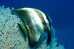 Long Fin Spadefish, Bat Fish, Platax teira, against sea fan, Celebes Sea, Sabah .Malaysia....