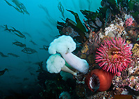 QX71948-D. Fish-eating Sea Anemones (Urticina piscivora) and Giant Plumose Sea Anemones (Metridium farcimen) with Bull Kelp (Nereocystis luetkeana) behind, streaming in a gentle current. Washington, USA, Pacific Ocean.<br /> Photo Copyright &copy; Brandon Cole. All rights reserved worldwide.  www.brandoncole.com