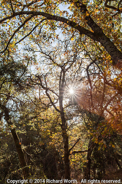 Autumn gold and orange with a sunburst along the Ringtail Cat Trail at Las Trampas Regional Wilderness in Alamo, California.