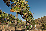 Pinot noir harvest in Los Carneros, Napa, California
