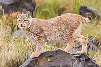 Damp Siberian Lynx standing on a wet rock - CA