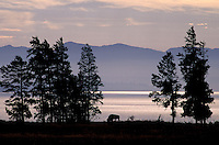 Bison (Bos bison), Yellowstone Lake, Yellowstone National Park, Wyoming, USA