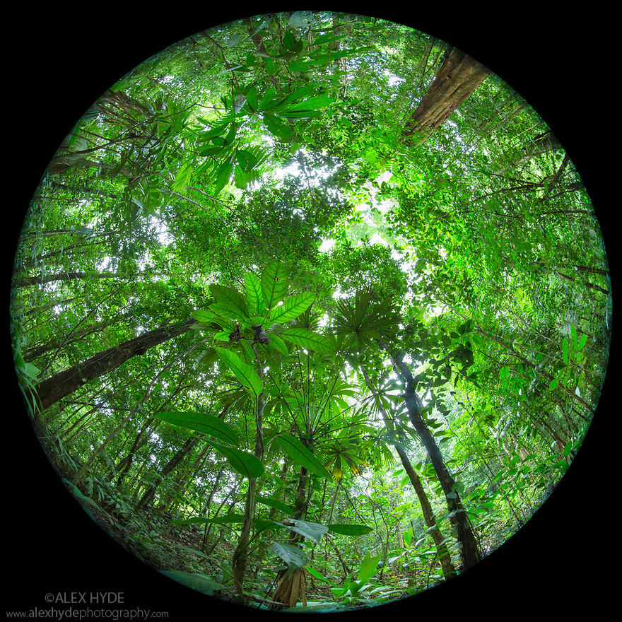 Looking up at rainforest canopy, photographed with a circular fisheye lens. Osa Peninsula, Costa Rica. May.
