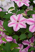 Clematis Ooh La La, white and pink stripes, climbing flowering perennial vine. Aka Cherokee