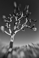 Burned Joshua Tree - Lensbaby - Infrared Black & White