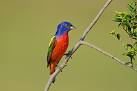 510440145 a wild male painted bunting passerina ciris perches on a small branch on laguna seca ranch rio grande valley texas united states