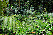 Large hapu'u ferns and other greenery along the 0.4-mile loop trail at 'Akaka Falls State Park, Honomu, Big Island.