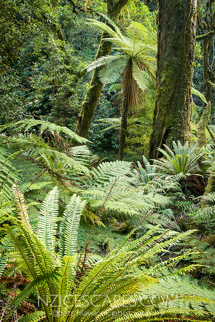 Native forest in Te Urewera on Panekiri Range, Te Urewera, Hawke's Bay, North Island, New Zealand, NZ
