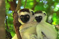 Verreaux's Sifaka with an infant (Propithecus verreauxi), Berenty Private Reserve, Madagascar